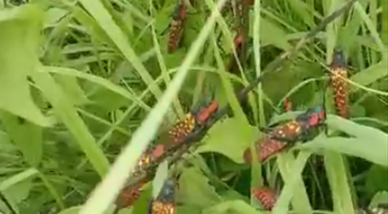 Adult spotted grasshoppers in the fields of Manipur Makhan village -IFP